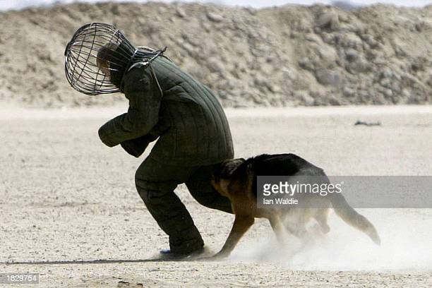 British soldier from the Royal Army Veterinary Corps dressed in a protection suit is attacked by Khan an attack German Shepherd during a dog training...