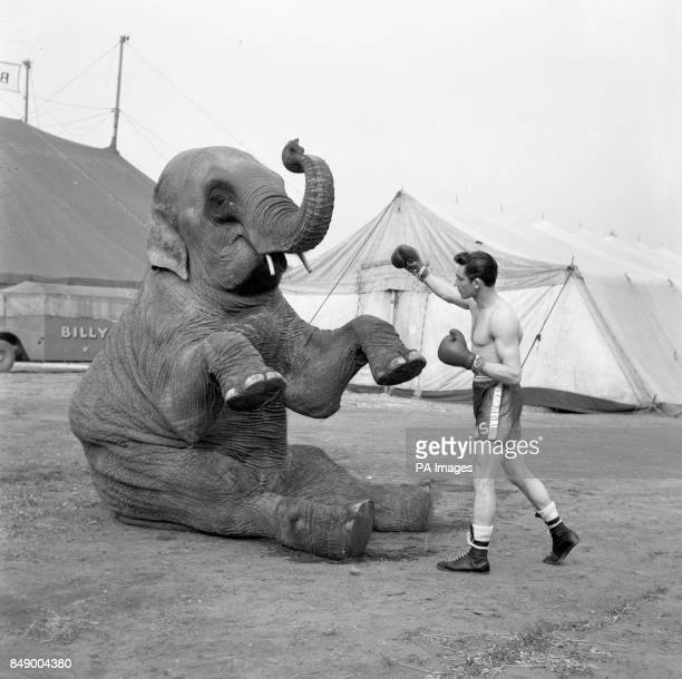 British welterweight boxing champion Wally Swift from Nottingham poses with 'Birma' the elephant when he visits Billy Smart's Circus