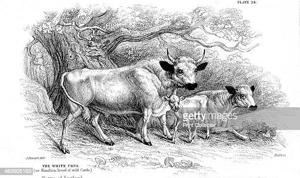 British wild or park cattle The Hamilton strain and the Chillingham two examples of ancient breeds surviving in a few small herds in Britain through...
