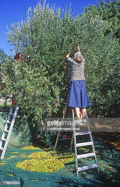 British woman picking olives from a tree Sicily Italy