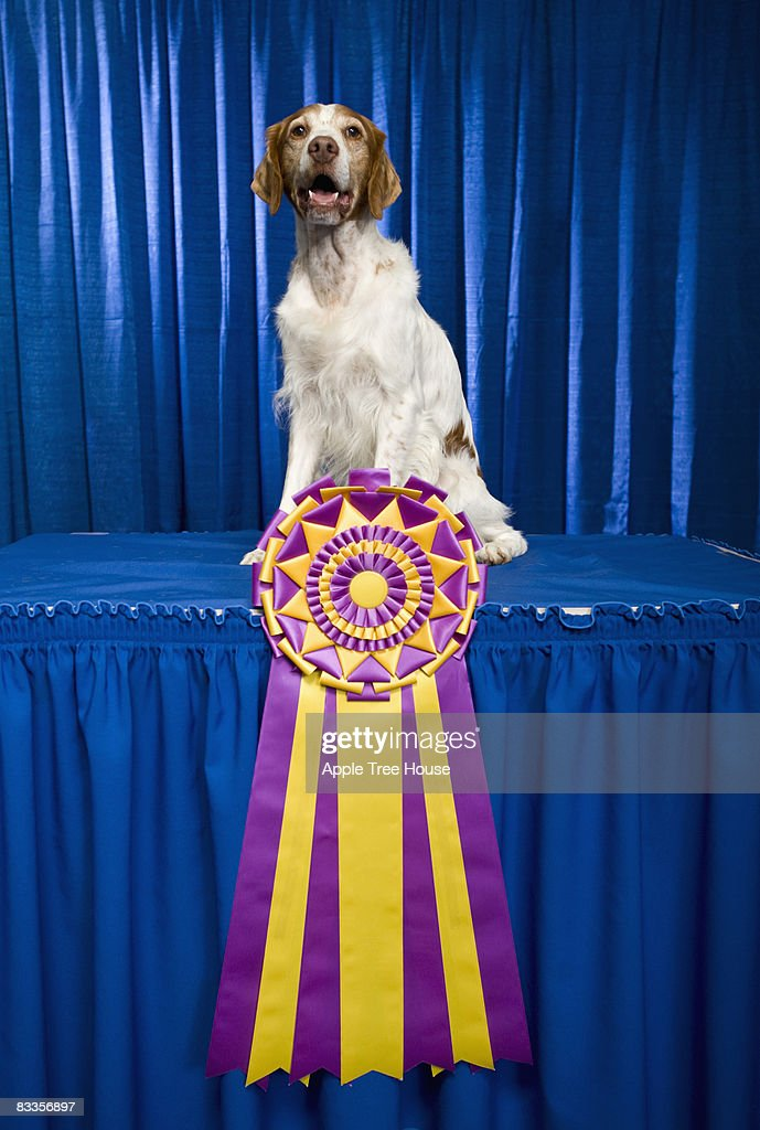 Brittany dog with large, championship ribbon