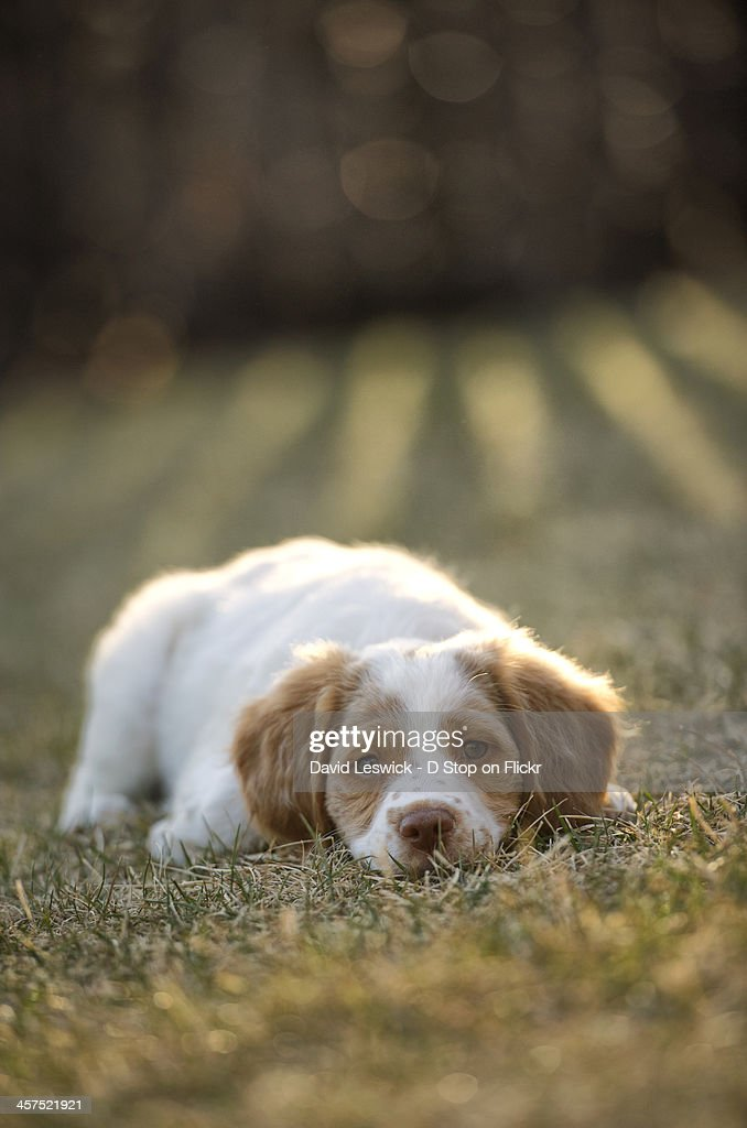 brittany spaniel at rest in the evening