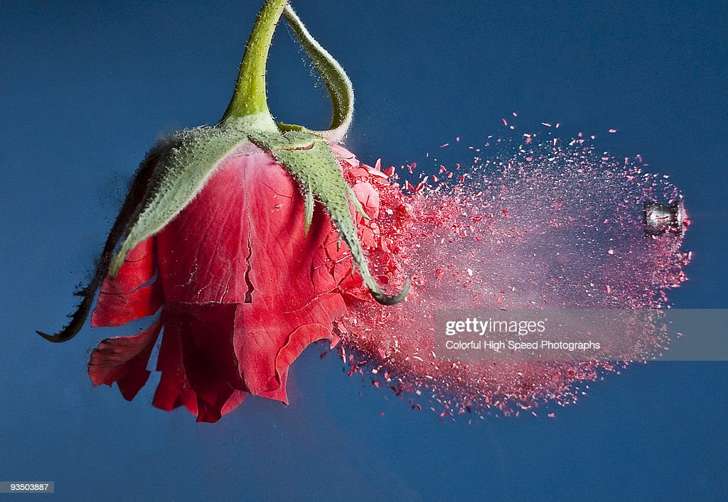 Brittle Rose : Stock Photo
