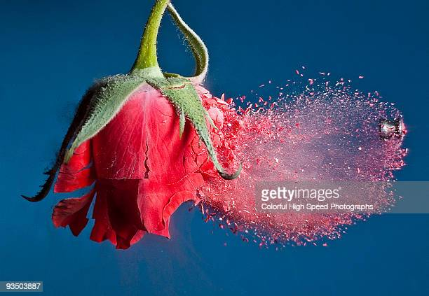 Brittle Rose