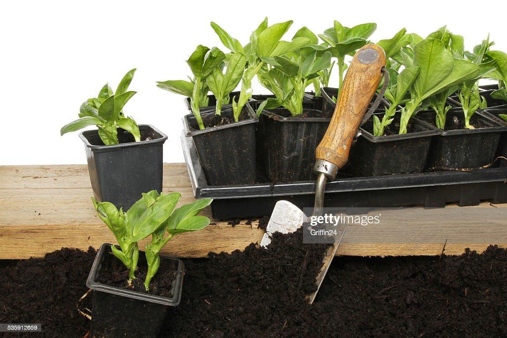 Broad bean plants : Stock Photo