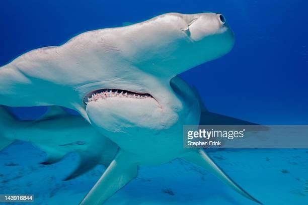 Broad, Flat Head of the Great Hammerhead Shark