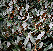 Broad leathery Rhododendron leaves
