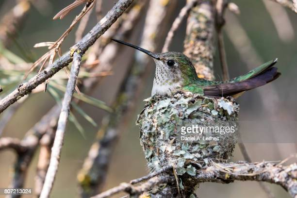 Broad-tailed Hummingbird on Nest