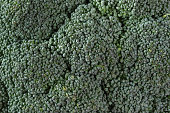 Broccoli inflorescence of fresh green close up