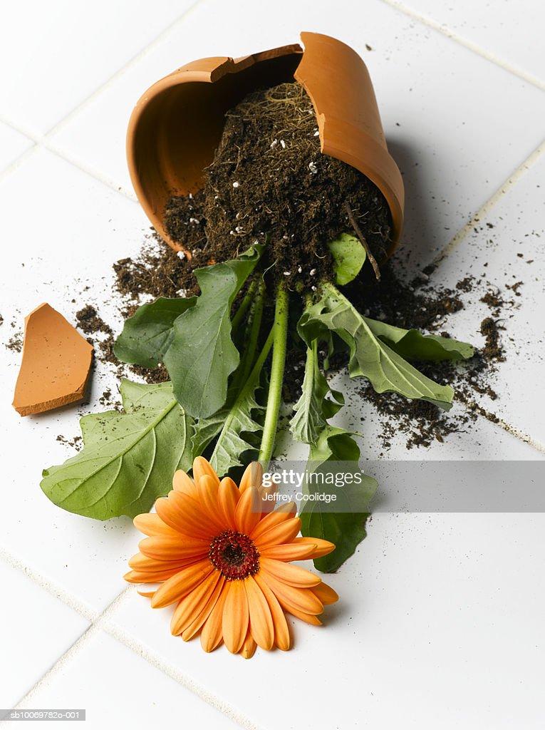 Broken pot with gerbera daisy flower on floor : Stock Photo