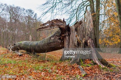 Broken Tree nach Sturm oder Hurrikan : Stock-Foto