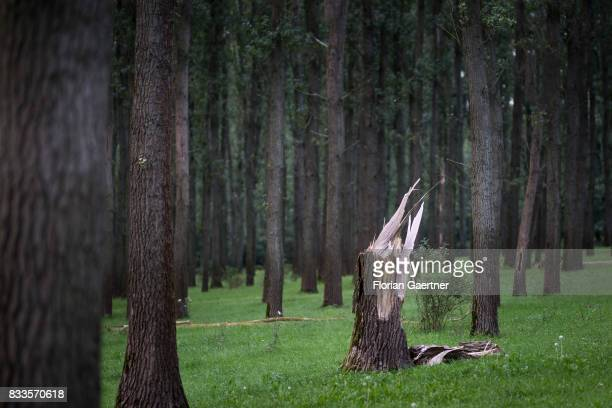A broken tree amidst of a forest is pictured on August 15 2017 in Werben Germany