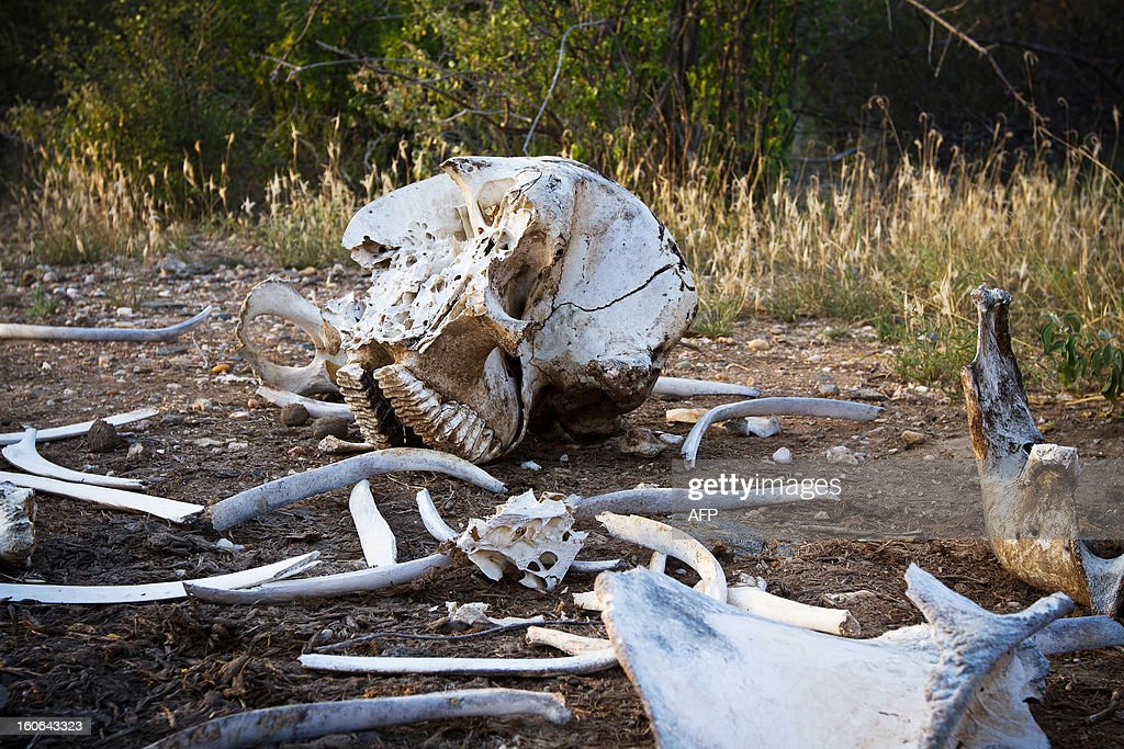 A broken-up elephant skeleton minus its tusks is pictured in Kora National Park on January 29, 2013. Wildlife protection groups have expressed concern that the amount of elephant poaching in the African continent is now at its highest for 20 years with an estimated 25,000 elephants killed in 2011. Kenya's worst incident of ivory poaching in recent history took place on January 5, 2013 when an entire family of 11 elephants were killed by poachers in Tsavo National Park, which is home to some 13,000 elephants. Increasing prosperity in China, and a large influx of Chinese workers and investors throughout Africa, has sent demand for african ivory soaring. AFP PHOTO/IVAN LIEMAN