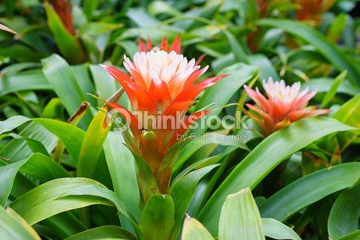 Bromeliad Plant Silver Vase Bromeliad Vriesea Pineapple Stock Photo
