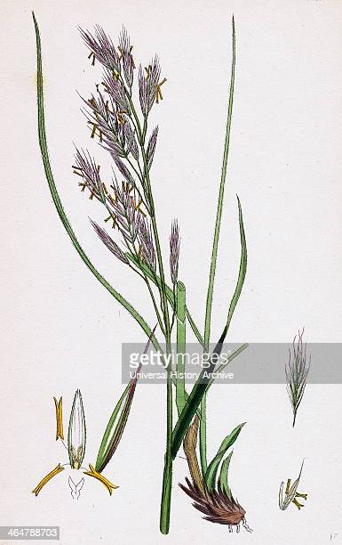 Perennial Brome Grasses : Brome stock photos and pictures getty images