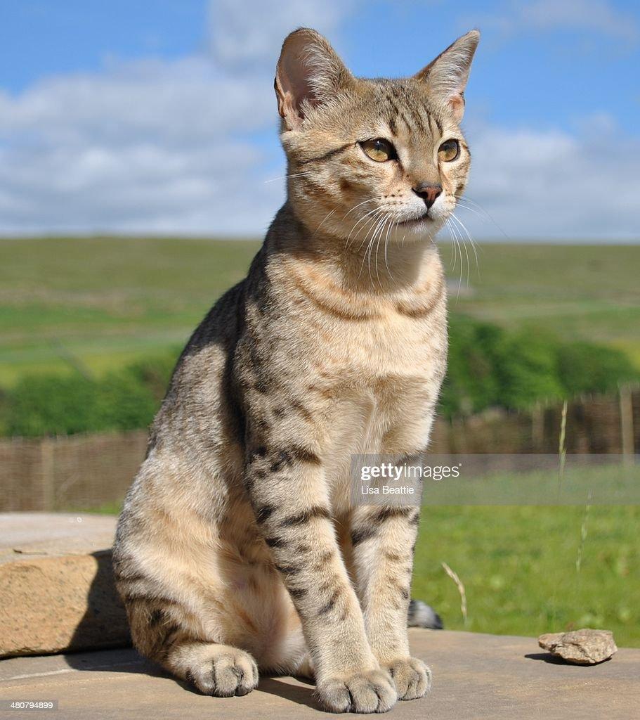 Bronze Egyptian Mau Kitten