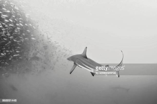 Bronze whaler shark attacks a sardine bait ball during the sardine run, Wild Coast, South Africa.