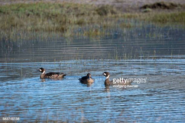 Bronzewinged Ducks in Torres del Paine National Park in southern Chile