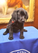 Brooklyn's Deli a black Labrador Retriever puppy attends as American Kennel Club announces Most Popular Dogs in the US at American Kennel Club...