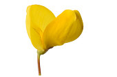broom flower isolated on a white background
