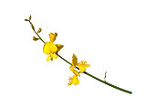 Broom flowers on white background