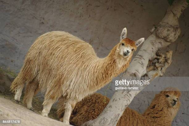 Brown alpaca eating in the farm located in Perú