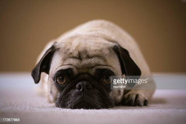 A brown and black pug lying down on the carpet