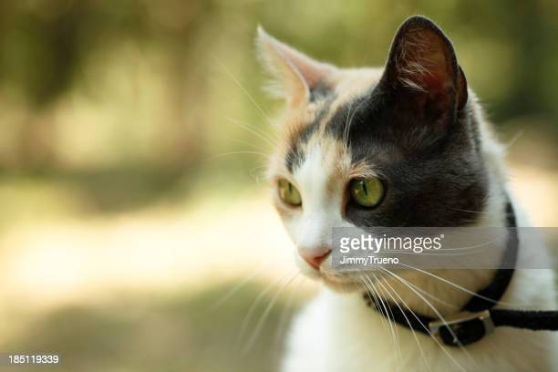 A brown and white calico cat sitting outside