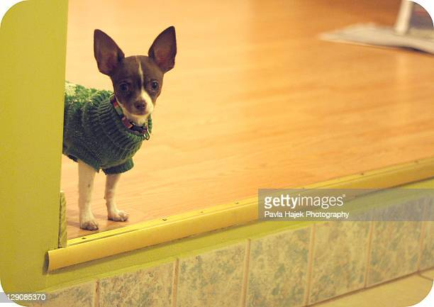 Brown and white chihuahua puppy with green sweater