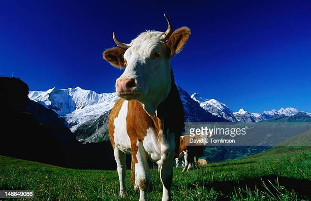 A brown and white cow in an alpine meadow, First.