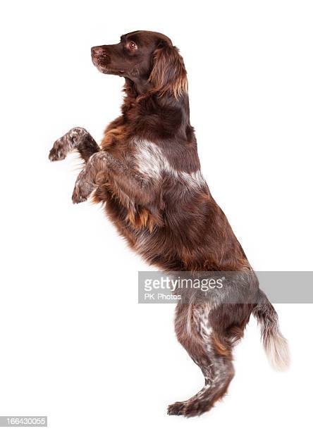 A brown and white dog on his hind legs