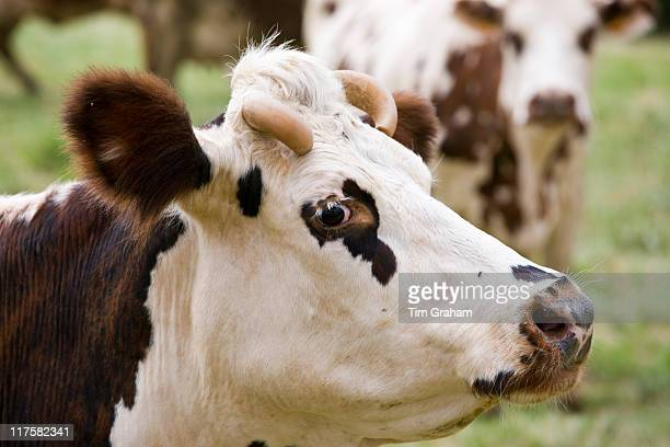 Brown and white French Normandy cow in a meadow in the Dordogne area of France