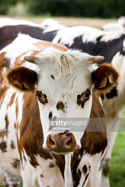 Brown and white French Normandy cow in rural Normandy France