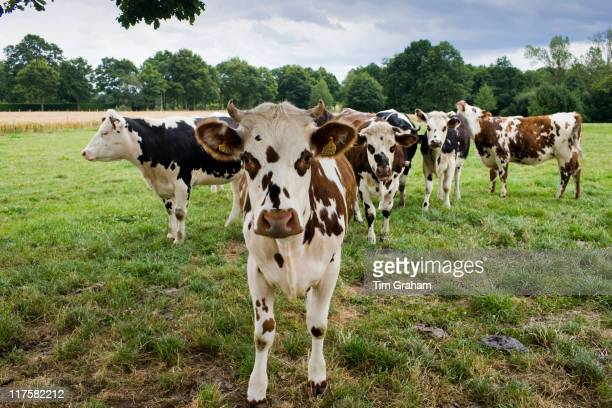 Brown and white French Normandy cow with herd of cattle in a meadow in rural Normandy France