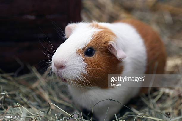 Brown and white guinea pig on straw
