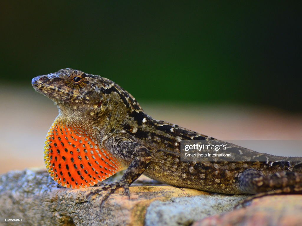 Brown anole lizard close up displaying dewlap