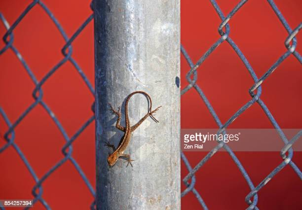 Brown anole (Anolis sagrei) on metal fence