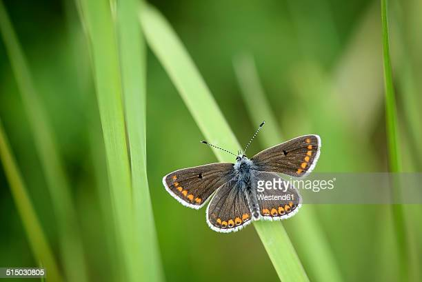 Brown Argus, Aricia agestis, sitting on blade of grass