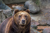 Bear, zoo, close-up, head, predator, view, close, brown
