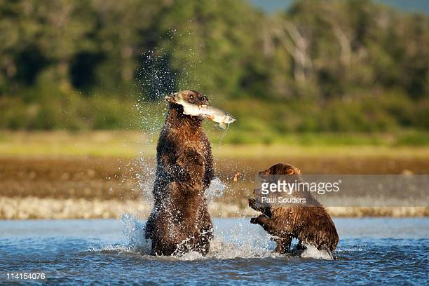 Brown Bear and Cubs, Katmai National Park, Alaska