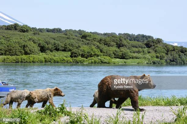 A brown bear and her cubs walk in a line at the edge of Kurile Lake on the southern tip of the Kamchatka Peninsula in Russia on July 20 2017 Home to...