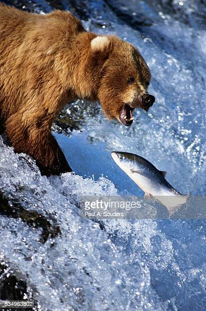 Brown Bear and Spawning Salmon