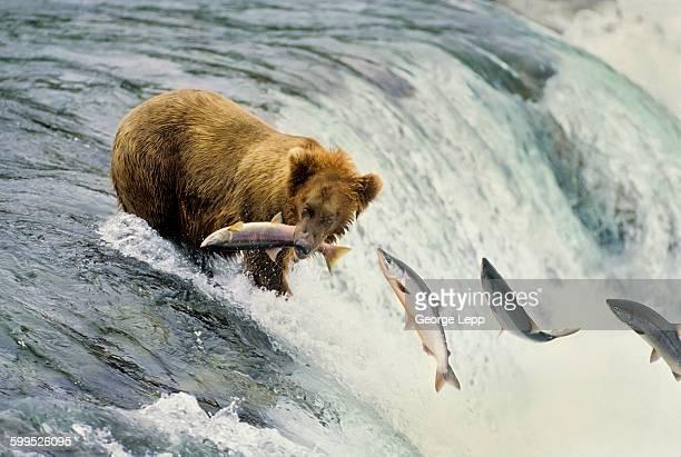 Brown bear at Brooks Falls, Alaska
