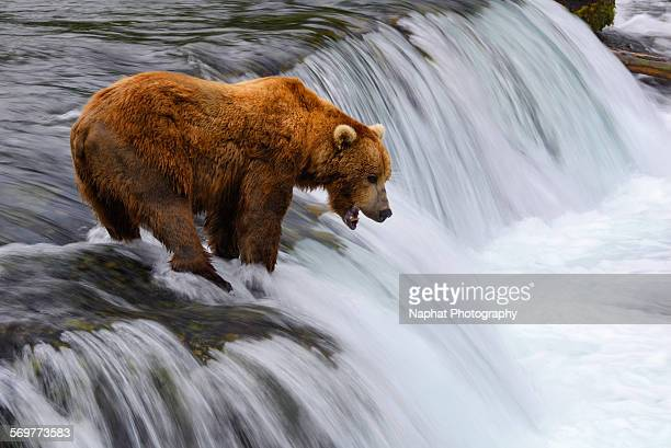 Brown bear at Brooks falls