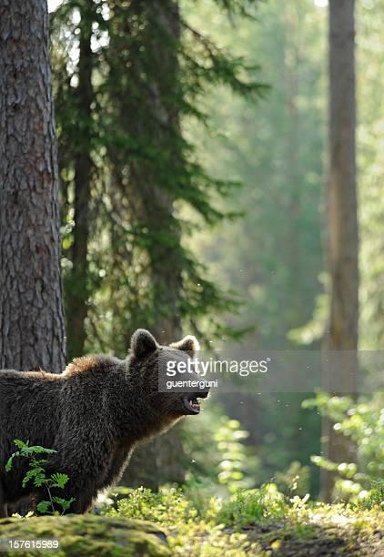 Ours brun de tôt le matin dans la forêt, la faune-Image
