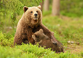 Brown bear breastfeeding cubs