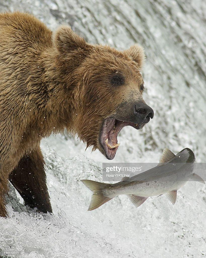 Brown bear catching salmon : Stock Photo