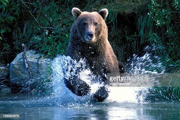 Brown Bear charging through stream