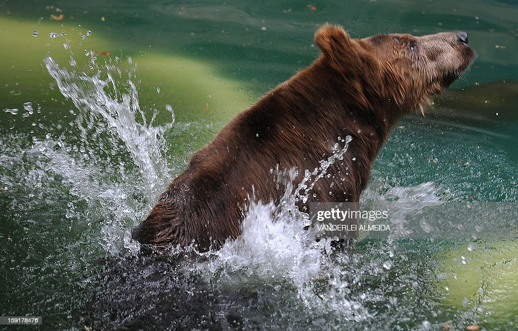 A Brown bear (Ursus arctos) cools itself down in a pool at the zoo in Rio de Janeiro, on January 9, 2013. AFP PHOTO/VANDERLEI ALMEIDA