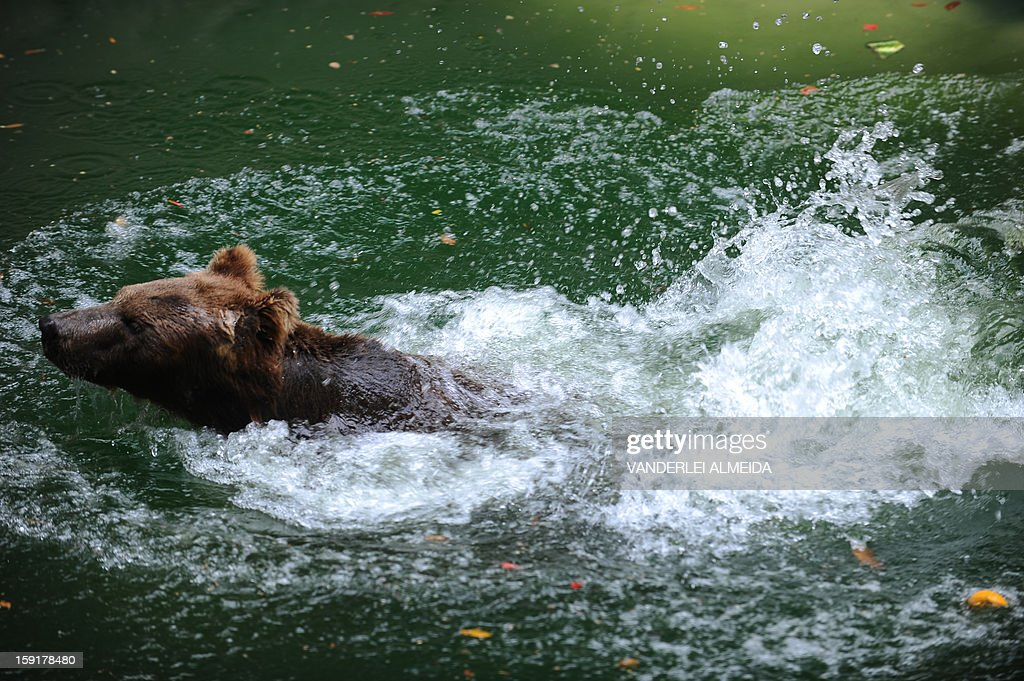 A Brown bear (Ursus arctos) cools itself down in a pool at the zoo in Rio de Janeiro, on January 9, 2013.